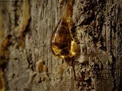 Tree Sap (rachael242) Tags: tree sap bark wood forest nature macro close up lit light sun sunlight macromondays mondays sidelit side park landscape reflected reflect reflection sticky golden gold yellow bright