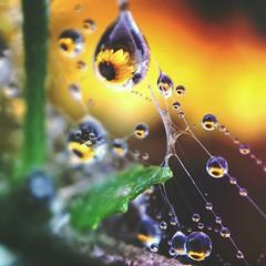 Sunflower drops (jilllian2) Tags: spiderweb nature iphone iphone7plus olloclip macro flowers sunflower sunshine