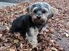Flo Yorkie Poo Dog in Autumn Leaves (@oakhamuk) Tags: flo yorkiepoo dog autumnleaves oakham rutland