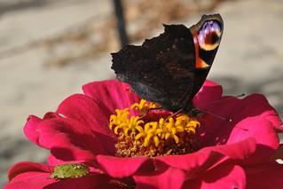 Farfalla su zinnia.
