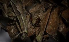 Orb Weaver on Bunya Pine (dustaway) Tags: arthropoda arachnida araneae araneomorphae araneidae araneinae eriophora eriophoratransmarina orbweaver crypsis camouflage tamborinemountain mounttamborine sequeensland nature queensland australia australianspiders araignee spinne