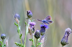 Purples and Blue. (pstone646) Tags: butterfly insect nature flowers plants animal bokeh kent wildlife fauna flora feeding pollination ngc
