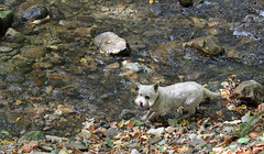 Jeter - 9/21/17 (myvreni) Tags: vermont summer nature outdoors animals dogs cairnterriers pets