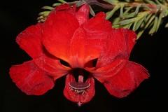 Lechenaultia formosa (andreas lambrianides) Tags: lechenaultiaformosa goodeniaceae lechenaultia redlechenaultia australianflora australiannativeplants redflowers westernaustralia