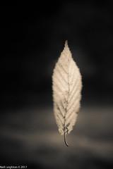 Falling (Neil_Leighton) Tags: blackwhite fall flowersplants landscape macro monochrome flight flying leaf autumn falling
