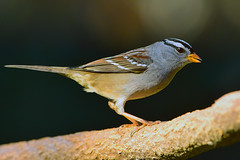 """White-crowned_Sparrow.06 (DonBantumPhotography.com) Tags: wildlife animals birds whitecrownedsparrow """"donbantumphotographycom"""" """"donbantumcom"""" """"nikon d7200"""" """"afs nikkor 200500mm f56e ed vr"""""""