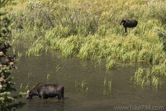 "Moose cow and calf at Moose Ponds • <a style=""font-size:0.8em;"" href=""http://www.flickr.com/photos/63501323@N07/37022758183/"" target=""_blank"">View on Flickr</a>"