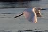 IMG_2592 (armadil) Tags: mavericks beach beaches californiabeaches bird birds egret snowyegret lowtide highlights