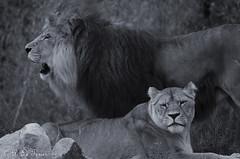 Féline Tendresse 04 (letexierpatrick) Tags: lion lionne animal félin féline nature noir blanc noirblanc nikon nikond7000 monochrome zoo france