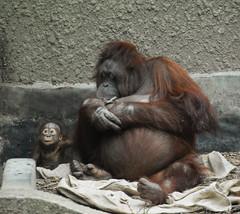 Bornean Orangutan (Pongo pygmaeus) (Seventh Heaven Photography) Tags: orangutan pongo pygmaeus pongopygmaeus tombo sarieki willie chester zoo cheshire england nikond3200 criticallyendangered endangered baby mother mum animal mammal bornean primate