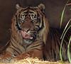 sumatran tiger Beludru Krefeld BB2A1641 (j.a.kok) Tags: tijger tiger sumatraansetijger sumatrantiger kat cat animal mammal zoogdier dier asia azie krefeld beludru pantheratigrissumatrae