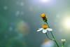 Lucid (Suresh V Raja) Tags: lucid dream colors flower nature bokeh yercaud salem nikon suresh chennai tamilnadu india sureshcprog sureshphotography d5300