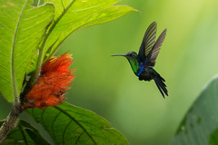 Violet-crowned Woodnymph (Thalurania colombica) feeding from flowers (Chris Jimenez Nature Photo) Tags: vegetation birding flowers hummingibrds nature birds inflight colibrie colibri feeding costarica action violetcrownedwoodnymph wildlife hummingbird thaluraniacolombica fly centralamerica