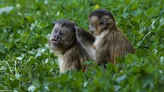 casal de macaco prego