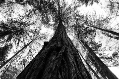 Looking up a Redwood (billbelcher1) Tags: canon blackandwhite tree redwood redwoods