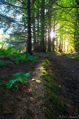 Forest Light (buddsnax) Tags: forest uk scotland woods light ferns shaftoflight greens