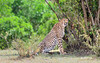 Kenyan cheetah (Acinonyx jubatus raineyii) (José M. F. Almeida) Tags: kenya masai mara wildlife africa 2017 august reserv kenyan cheetah acinonyx jubatus raineyii quenia quênia safari