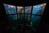 Kelp forest viewing (Middle aged Nikonite) Tags: monterey bay aquarium nikon d750 irix 11mm nature water california aquatic fish kelp sea ultrawide