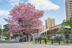 É primavera em minha cidade (Londrina/PR) (Vinicius_Ldna) Tags: 5654 primavera spring arvore tree arvores trees flower flor flowers flores rosa pink esquina corner avenida avenue canon 1855 londrina parana brazil