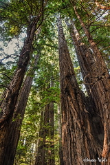 9 - Redwoods of Muir Woods National Monument (xTexAnne) Tags: ©diannewhite nikond7200 california muirwoodsnationalmonument forest redwoods trees fence 100x2017 100x10of10