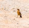 Brown Rock Chat (Mohsan Raza Ali Baloch) Tags: mohsan raza ali mohsans nature birds islamabad pakistan