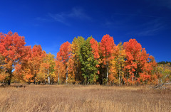 The copse (alideniese) Tags: landscape grandtetonnationalpark wyoming usa northamerica autumn fall trees smileonsaturday treesinthepicture grass field colourful autumncolours fallcolours bright daylight hot sunny red yellow alideniese 7dwf dry blue polarised