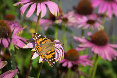 Just Chillin' (Adam Curran) Tags: saintjohn saint john newbrunswick new brunswick nbphoto nikond3300 nikon d3300 nikkor coneflower flower plant garden butterfly paintedlady painted lady outdoor outdoors