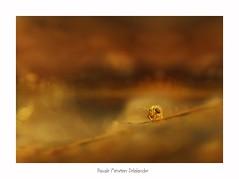 Sur les traces des Collemboles (Pascale Ménétrier Delalandre) Tags: collembole arthropodespancrustacés souventsauteurs hexapodes appartenant pancrustacea france canoneos70d canonef100mmf28lmacroisusm pascaleménétrierdelalandre extérieur