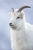 Dall Sheep Ewe (Outback Photo Adventures) Tags: dall sheep ewe lamb alaska ak canada yukon animal animals wildlife nature portrait rocks rock mountain run canon canon1dxmarkii 1dxmarkii 1dx 1dxii usa ca north america us