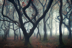 Spooky & Twisted (artursomerset) Tags: trees twisted branches somerset fog mist landscape spooky scary misty forest autumn fall oak morning