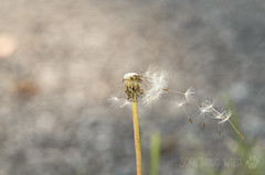 I Could Really Use a Wish Right Now (Something Wild Photography) Tags: dandelion dandelions flower flowers weed weeds nature natural wish bokeh macro