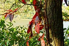 Beginning of the End (thetrick113) Tags: virginiacreeper hudsonriver river stormkingmountain plant autumn autumnsenescence autumncolor autumnleaves senescence fall 2017 fall2017 sonyslta65v hudsonvalley hudsonrivervalley hudsonhighlands littlestonypointpark newyorkstateparks coldspringnewyork putnamcontynewyork vine tree dicot