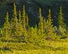Spruce trees lit by midnight sun, Ivvavik National Park, YT (Daniel Case) Tags: midnightsun ivvaviknationalpark blackspruce goldenhour sunlight arctic yukon