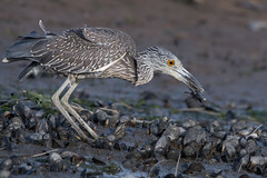 Yellow-Crowned Night Heron (Juvenile) (Jesse_in_CT) Tags: yellowcrownednightheron nikon200500mm