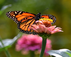 Monarch (5) (amiecware) Tags: monarch butterfly zinnia nature