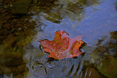 floating downstream.jpg (remiklitsch) Tags: red blue maple leaf floating creek water 14milecreek oakville autumn ontario hiking path nature september fall morning nikon remiklitsch rocks pebbles stream