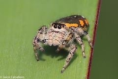 Jumping Spider (jaico3) Tags: guanajuato mexico mx