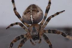 Arachtober 14 (Procrustes2007) Tags: spider arachnid araneusdiadematus commongardenspider arachtober nikond50 nikkor50mmais tamron2xteleconverter vivitarextensionrings68mmtotal flash greatcornard suffolk uk britain england gridreftl883407 macro