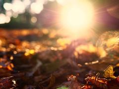 A U T U M N   G L O R Y (Vivi Black) Tags: macro blure outdoor sunset germany leaf nature magic light colors bokeh spring autumn golden goldlight glory outside