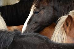 Look (tobs_) Tags: pferde fell auge
