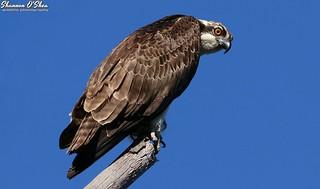 Osprey la vista, baby