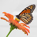 an October Monarch
