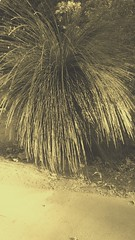 Xanthorrhoea (sftrajan) Tags: sanfranciscobotanicgarden strybingarboretum goldengatepark sanfrancisco jardinbotanique jardinbotanico botanicgarden botanicalgarden botanischergarten botaniskhave grasstree filter australianplants xanthorrhoea ботаническийсад