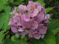 Hortensie (Sophia-Fatima) Tags: mygarden meingarten naturgarten gardening hortensie hortensia flower blüte altrosa