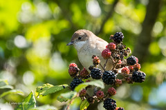 Juvenile Whitethroat 500_2317.jpg (Mobile Lynn (back and catching up)) Tags: whitethroat birds nature wild bird fauna sylviacommunis wildlife wiggonholt england unitedkingdom gb