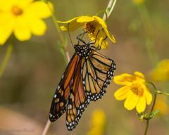 Monarch (stephaniepluscht) Tags: alabama 2017 gulf state park butterfly butterflies tickseed sunflower monarch