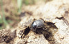 Dung beetle rolling cow dung ball. Ojen valley. Southwest Spain (Mary Gillham Archive Project) Tags: 571419 andalusia dungbeetle invert scarabaeoidea spain