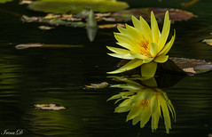 A flower for today (Irina1010) Tags: waterlily yellow flower pond reflections gibbsgardens autumn beautiful nature canon ngc npc