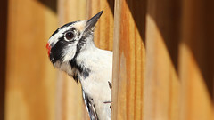 Hanging Out (blazer8696) Tags: 2017 brookfield ct connecticut ecw obtusehill t2017 table usa unitedstates img7662 picidae piciformes picoides woodpecker