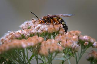 Sleepy wasp - 100417-095628